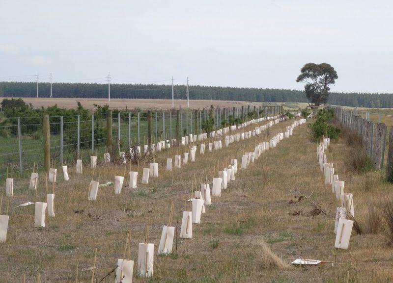 2L Cardboard Carton Tree Guards | Moorabool Catchment Landcare Group