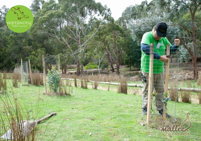 Securing Mallee Mesh Guards to Hardwood Stakes at Warrawong