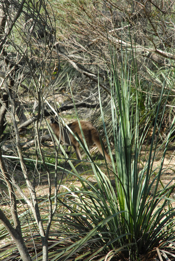 Kangaroo in Native Bushland at Kaiser Stuhl Consevation Park, South Australia
