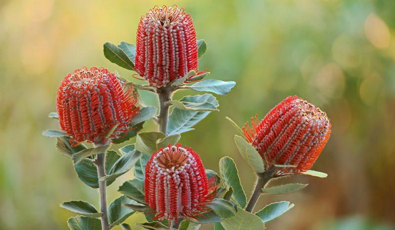Banksia Photo | Grow with Arborgreen